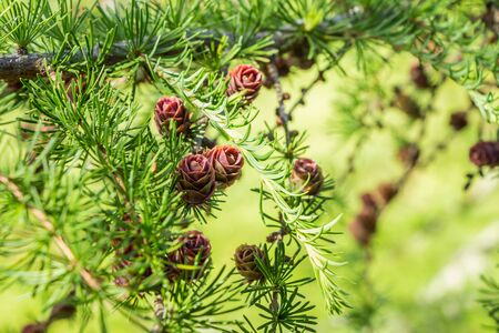 Larix gmelinii, the Dahurian larch. Cones on a coniferous tree. Fresh new bright green branches of a larch tree with spring needles.