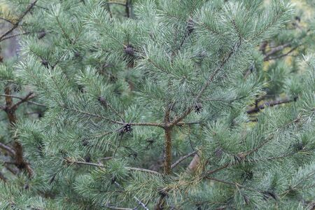 Blue pine tree branch. Beautiful pine tree branches with bumps and cones. Christmas concept