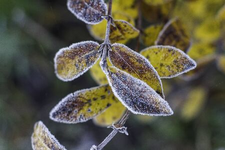 Autumn yellow and green beautiful leaves with frost. Snow green and yellow maple leaves.Frosty morning. Quiet clear weather. Late autumn or early winter. Foto de archivo