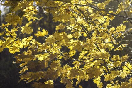 Vibrant yellow maple tree foliage isolated. Beautiful natural background.Autumn colored leaves in a sunny day. Foto de archivo
