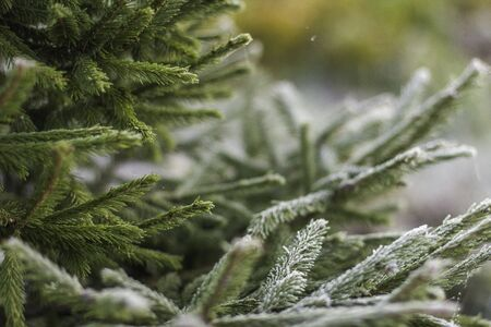Fir-tree background. Background from green Fir tree branch. Fluffy young branch Fir tree with white little flowers, close up.Christmas new year year background template. Holiday wallpaper concept.Hoarfrost and cobwebs. Winter.
