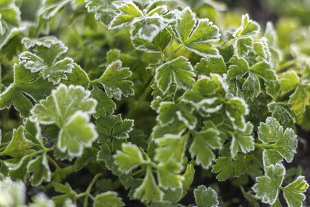 Coriander, also known as cilantro or Chinese parsley with frost on leaves in the garden. Green leaves background with surface, green leaves pattern. Foto de archivo