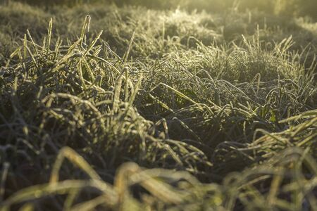 Yellow grass with morning frost and sun. Frosty morning. Quiet clear weather. Late autumn or early winter. Abstract background from a grass covered with hoarfrost. Foto de archivo