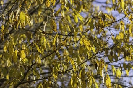 Vibrant yellow tree foliage isolated on blue sky. Beautiful natural background. Foto de archivo