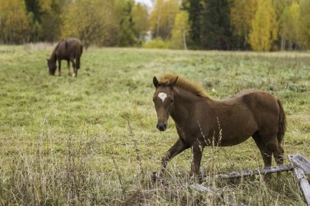 A young brown foal with a small white spot on a green and yellow summer meadow. Brown mother horse. Old rickety fence. Foto de archivo