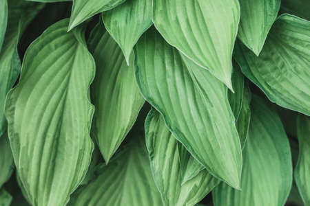 Leafy background. Background with leaves for your text. Light green natural eco-friendly material. Beautiful leaf pattern texture. Green Leaves of Hosta or Funkia, Plantain Lilies, Giboshi.