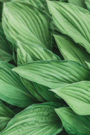 Plantain lilies. Hosta is a genus of plants commonly known as hostas, plantain lilies and giboshi. The genus is currently placed in the family Asparagaceae, subfamily Agavoideae. Vertical oriental.