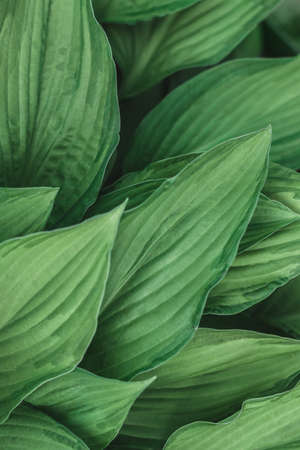 Leafy background. Background with leaves for your text. Light green natural eco-friendly material. Beautiful leaf pattern texture. Green Leaves of Hosta or Plantain Lilies, Giboshi. Vertical oriental. Foto de archivo