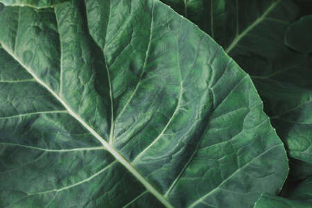 Green summer leaf close-up as background. Cabbage leaves in nature as the background. Modern cool banner texture for eco-friendly products, proper nutrition, healthy lifestyle.