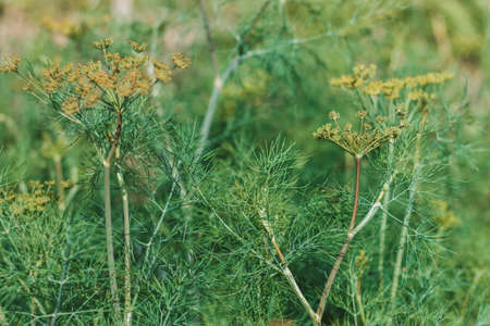 Fennel (Foeniculum vulgare) grows in the garden.