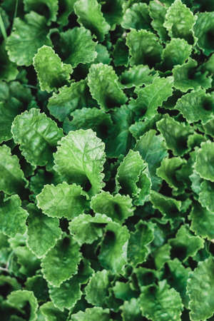 Fresh lettuce leaves, close up. Green background with leaves, free space. Nature eco background. Lettuce leaves grow in a garden bed. A gardeners favorite plant to add to a salad.