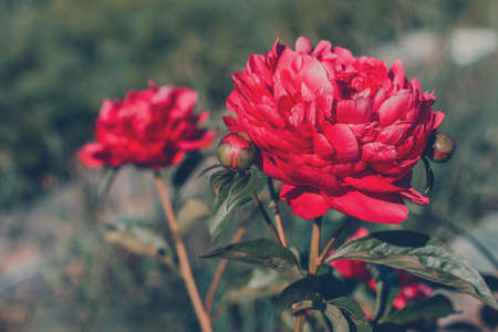 Blooming red peony flower on natural background in the garden. Beautiful flower card. Flowers in spring.