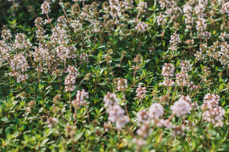 Thymus vulgaris or Common Thyme, Garden thyme, Wild Thyme, German Thyme, variety with pale pink flowers. Mint family Lamiaceae. Culinary, medicinal, and ornamental uses.