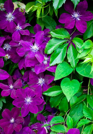 Many large purple clematis flowers on a background of green leaves. Close-up. Abundant clematis purple with a large flower, curling on the wall of a village house 免版税图像