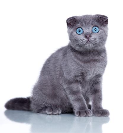 funny cat: Fold kitten isolated on white
