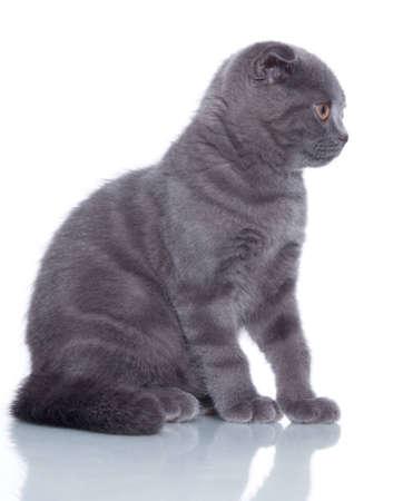 Fold kitten isolated on white photo