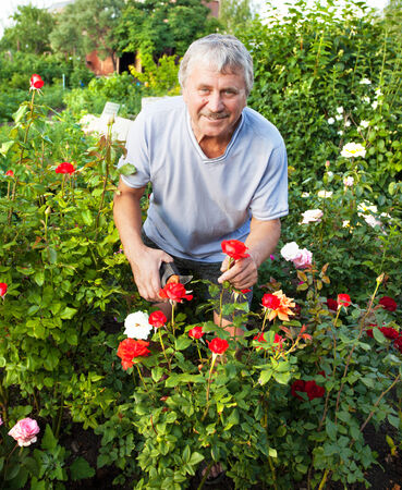 formal garden: Mature man caring for roses in the garden Stock Photo