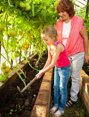 hothouse: Woman with child grows harvest in the hothouse. Senior with tomatoes