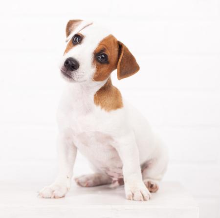 집에서 강아지입니다. 흰색에서 개 스톡 콘텐츠