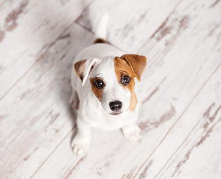 自宅の子犬。白犬 写真素材