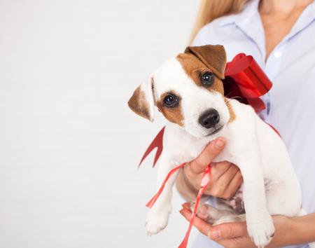 贈り物として子犬。弓と犬 写真素材