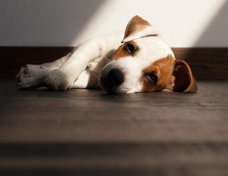 Štěně nemoc. Smutný pes se nudí