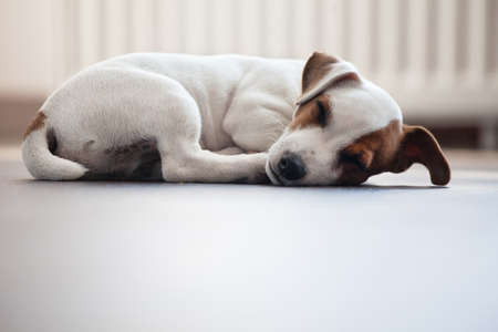 Puppy sleeping at warm floor. Dog Stock Photo