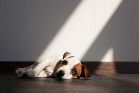 Puppy illness. Sad dog is bored
