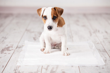 puppy: Puppy on absorbent litter. Accustom the dog to the toilet. Training pets