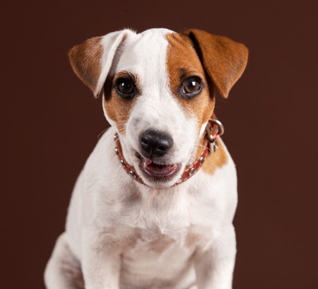 resentment: Dog with resentment looking at the camera. Humor. Puppy at brown background