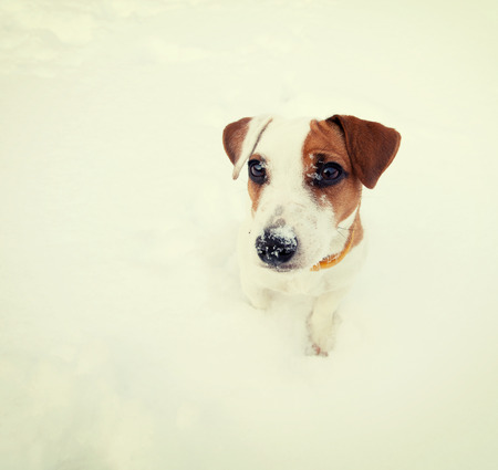 pappy: Dog at snow. Pappy at winter Stock Photo