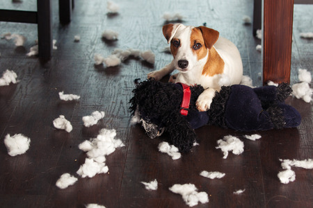 Pampering dogs. Naughty puppy. mischief Banque d'images