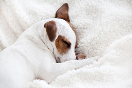 Dog sleeping on a soft white blanket Standard-Bild