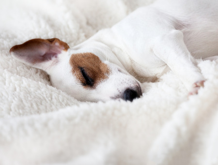 blanket: Dog sleeping on a soft white blanket Stock Photo