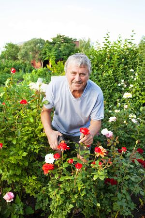 caring for: Mature man caring for roses in the garden Stock Photo