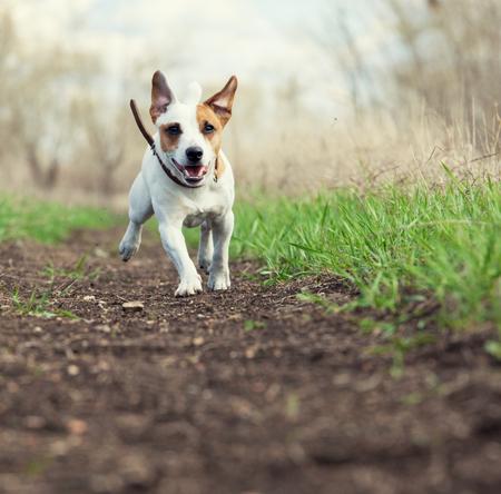 summer dog: Running dog at summer. Jumping fun and happy pet walking outdoors.
