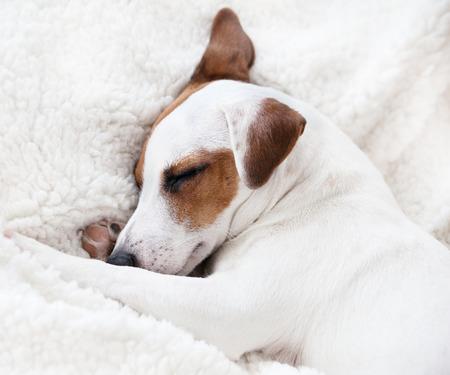 dreamlike: Dog sleeping on a soft white blanket Stock Photo