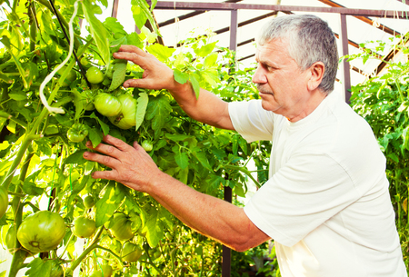Man grows harvest in the greenhouse. Senior with tomatoes