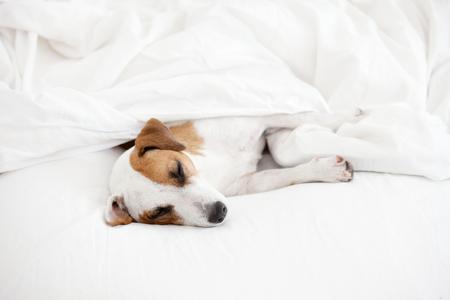 Cane di sonno a letto. Animale domestico in casa