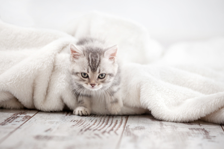razas de personas: Curious gray kitten. Little cat at home. Small pet