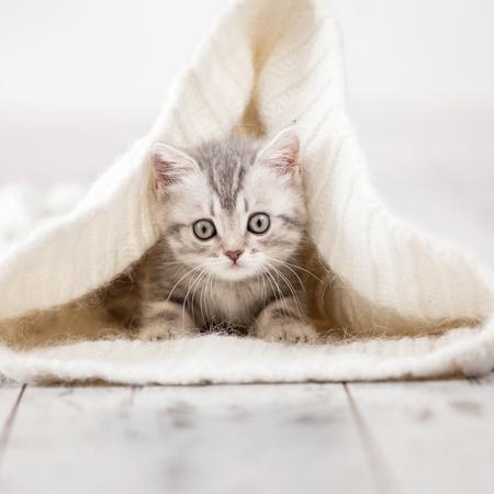好奇心が強い灰色の子猫。自宅の小さな猫。小さなペット
