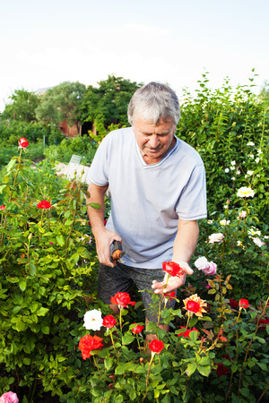 Mature man caring for roses in the garden Stock Photo