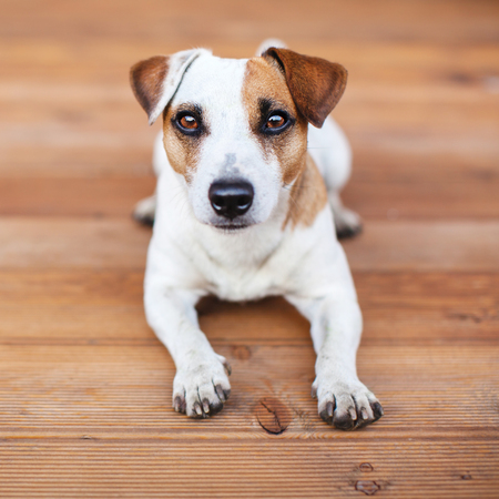 Dog at on wooden floor. Copy space. Pet Stock Photo