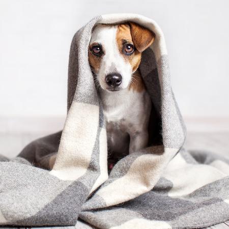Cane sotto un plaid. L'animale domestico si scalda sotto una coperta in condizioni di autunno freddo Archivio Fotografico - 87340408