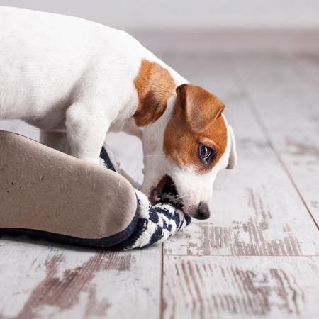 子犬が家でスリッパをかじるします。いたずらなペット
