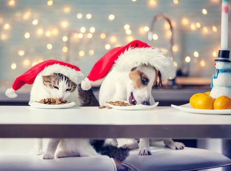 Dog and cat in christmas hat eating food. Happy pet santa 스톡 콘텐츠