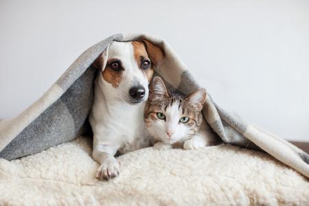 Cane e gatto insieme. Il cane abbraccia un gatto sotto il tappeto a casa. Amicizia degli animali domestici Archivio Fotografico - 97550370
