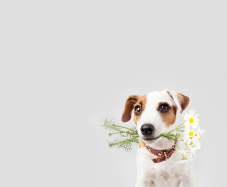 Dog with a bouquet of flowers in a teeth. Puppy with flowers