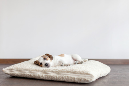 Sleeping puppy on dog bed. Dog jackrussell at home Stok Fotoğraf