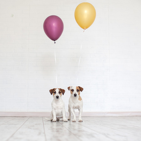Dog with a balloon. Pet holiday. Birthday. Two dogs friends